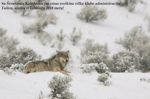 wolf resting in winter